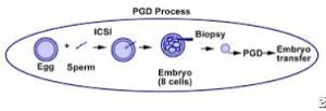 preimplantation+genetic+diagnosis