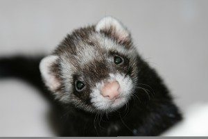 Past research made the H5N1 virus transmissible in ferrets.