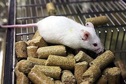 Lab_mouse_mg_3140