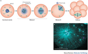 Female infertility here a oocyte meiotic and maturation